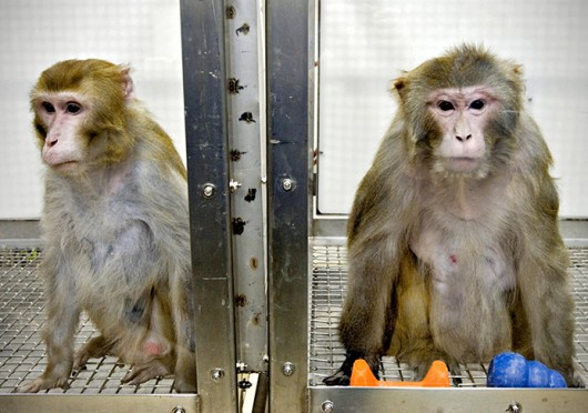 Canto, a 25-year-old Rhesus monkey, left, and Owen, a 26-year-old male Rhesus monkey, at the Wisconsin National Primate Research Center April 10, 2006. Credit: Courtesy of MCT