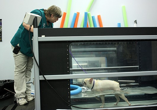 Veterinary assistant Marcella Kimmick helps Moki, a 3-year-old French bulldog, use an underwater treadmill to help him regain strength in his back legs. Credit: Logan Hickman / Lantern photographer
