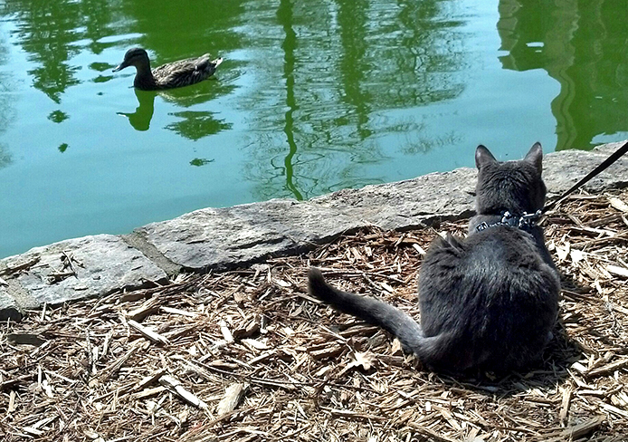Donut, an adopted cat, sits near Mirror Lake on OSU's campus.