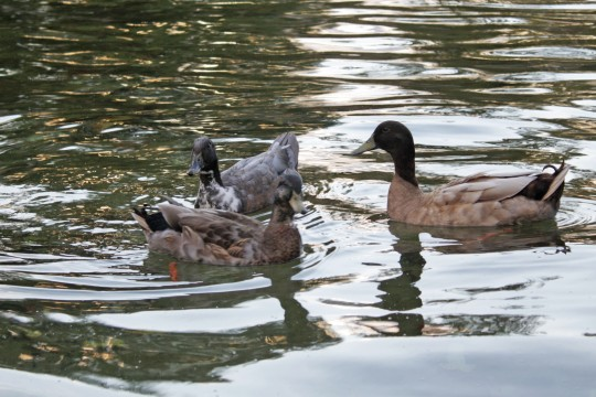 Ducks swim in Mirror Lake Oct. 14. Credit: Brandon Merriman / Lantern photographer