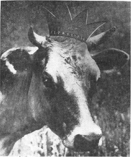 Maudine Ormsby, a Holstein cow that gained fame by winning the title of OSU Homecoming Queen in the Fall of 1926, is featured in a May 9, 1952 edition of The Lantern. Credit: Lantern digital archives