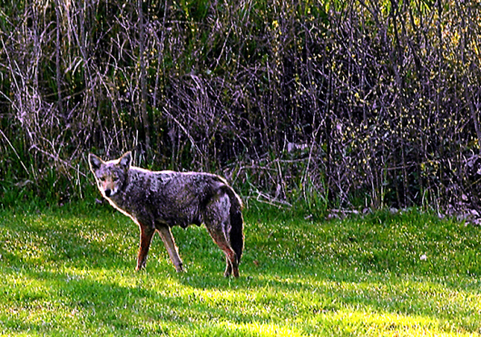 Some wildlife specialists say that coyote populations living in urban areas like Columbus feel at home in these places. Credit: Courtesy of TNS