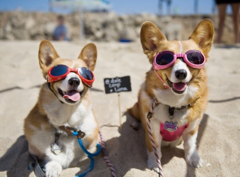 Dale and Luna are ready for a day of fun in the sun during the Southern California Corgi Beach Day in Huntington Beach. The duo, owned by Siu Lee, have more than 11,000 social media followers. Credit: Courtesy of TNS