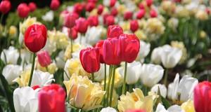 arts_tulips_STORY