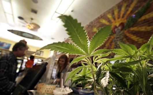 Medical marijuana plants for sale at The Farmacy, a popular California medical marijuana dispensary. Credit: Courtesy of TNS