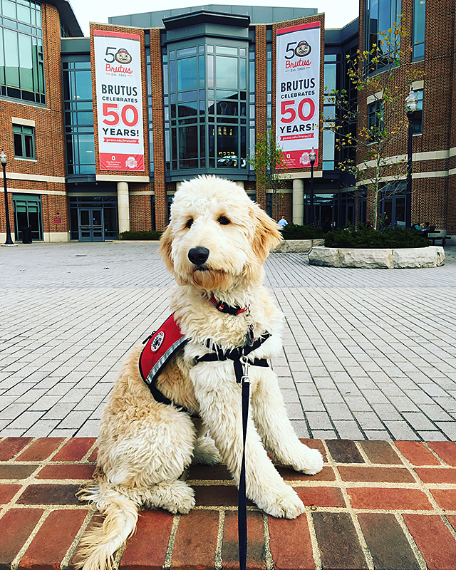 Tadashi, one of Lynn Agee's service dog in training, sits outside the Ohio Union. Credit: Lynn Agee
