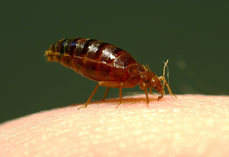 Bed Bugs can be a major issue for those who don't take care of their mattress and sheets. Credit: Courtesy of TNS