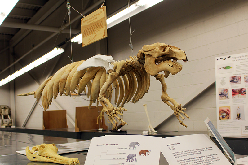 A manatee skeleton that was collected from the Columbus Zoo hangs in the tetrapod collection at the Museum of Biological Diversity. Credit: Leah McClure | Senior Lantern reporter