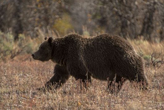 Grizzly 399 walks through Yellowstone National Park. Credit: Courtesy of
