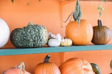 A variety of pumpkins sit on a shelf at a pumpkin patch