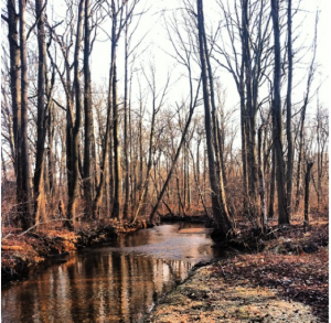 The Meadow Brook Stream and trees, Roosevelt Preserve.