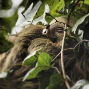In Costa Rica, I nabbed this awesome picture of a sleeping sloth!