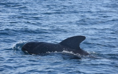 MS Student Julia Stepanuk Heads to North Carolina to Tag Pilot Whales