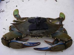 Tagged male blue crab. Photo by Matthew Sclafani.