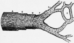 1911_Britannica_-_structure_of_an_artery