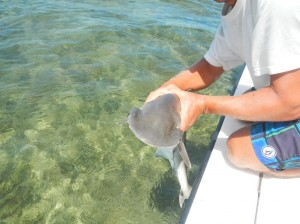 A bonnethead shark, a new addition to the cruises' inventory and one of the smallest of the hammerhead sharks.