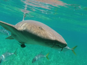 A nurse shark (Ginglymostoma cirratum), notice the position of the mouth compared to other sharks (Credit – Mark Bond).
