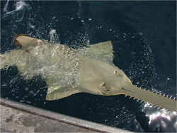 Smalltooth sawfish (Pristis pectinata) nearly became extinct after suffering high levels of bycatch in gill net fisheries in the U.S. and Latin America. As major U.S. efforts to protect them seem to be working, it is essential that we locate other breeding populations in the region. The Bahamas may be one such location. (Photo credit: NOAA)