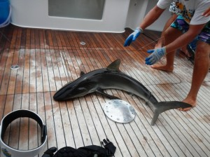 A silky shark being readied to be 'worked up' on the deck before being returned to the water.