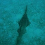 A smalltooth sawfish seen in shallow water.