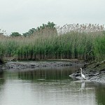 Barries-Creek-egret