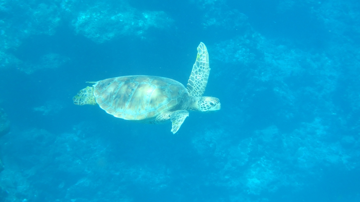 A green sea turtle swam about two arm's lengths away