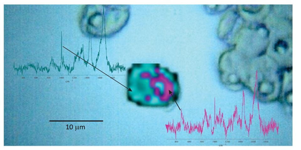 Application of NARMIL's chemiphotobleaching protocol for Raman microspectroscopic chemical mapping of a formerly highly fluorescent microalgal cells (central image). The map illustrates that starch granules (magenta) surround the cell's pyrenoid body. The 2-D map is based on spatial distributions and intensities of Raman scattered emissions from starch and cellular protein (blue). Raman spectra from single spots showing diagnostic peaks for starch (478 cm-1) and protein (phenylalanine at 1001 cm-1) used to produce the 2-D map are presented next to map. Maps and spectra are superimposed on a microscopic image of green algal (Tetraselmis levis) cells.