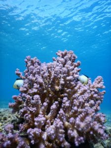 Corals in the Gulf of Aqaba
