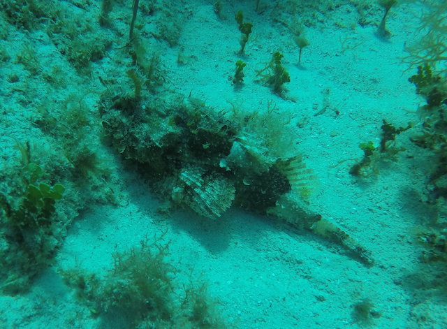 Here is the ever elusive scorpionfish that uses camouflage to blend into its environment.