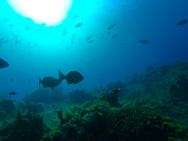 Chub and the variety of sponge and other marine life covering the canyon wall.