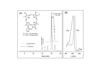 Chromatographic separation and identification of chlorophyll catabolites from fecal shields of Chelymorpha alternans. (A) LC-MS profile of the methanolic extract of larval shields (straight line) and the pheophorbide a standard (dotted line). The two peaks for Pha represent epimeric esters of ring V (Smith et al. 1985), Pha (R = CH3), Phb (R = CHO), (*) unknown compounds. (B) UV spectra of Pha (straight line) and Phb (dotted line).